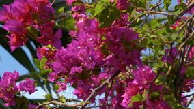 Big bush of bougainvillea magenta flowers with blue sky. Shot with Sony a7s and Atomos Ninja Flame on sunny summer day in Bali, Indonesia, dolly slide stock video