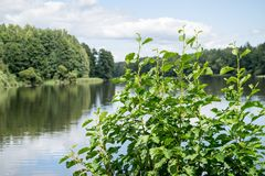 Big bush of a green alder. Against the river or the lake and against the blue sky with white clouds Royalty Free Stock Photo