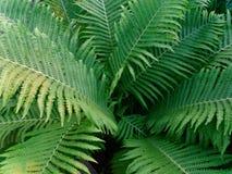 Big bush green fern in the shade. / stock photography