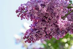 Big bush of a lilac closeup against the sky Stock Images