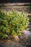 Marijuana cannabis weed farm in Canada. Big bush of marijuana on a farm in the fall before collecting marijuana stock photography