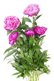 Big bush of the pink peonies Royalty Free Stock Photos