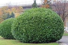 Big bush. Big round green bush garden Royalty Free Stock Photo