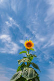 Big bush of a sunflower Stock Images