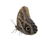 Big butterfly. Large isolated butterfly royalty free stock image