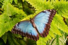 Big Butterfly. Blue Morpho, Morpho peleides, sitting on green leaves Stock Photo