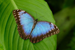 Big Butterfly Blue Morpho, Morpho peleides, sitting on green leaves, Costa Rica royalty free stock photos