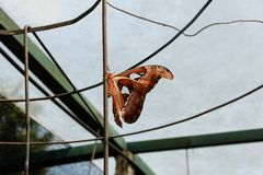 Big butterfly, Giant Atlas Moth. Or Attacus atlas Royalty Free Stock Image