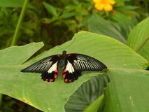 Big butterfly. Nice big butterfly photo detail royalty free stock images