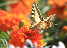 Big butterfly on orange flower Royalty Free Stock Image