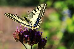 Big butterfly Papilio machaon for the Queen`s page butterfly seen with the wings of the side Stock Images