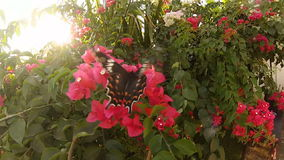 Big butterfly pollinating a Bush with red flowers at sunset