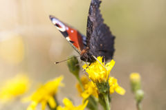 Big butterfly with red and black wings Royalty Free Stock Images