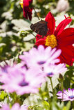 Big butterfly on a red flower blossom Royalty Free Stock Photography