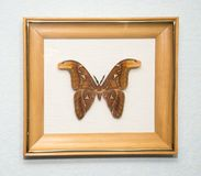 big butterfly in a wooden frame stock images