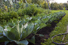 Big cabbage royalty free stock images