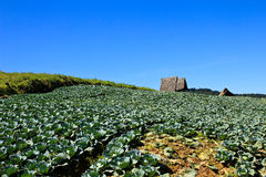 Big Cabbage farm on the mountain. Stock Photo