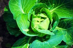 Big cabbage in the garden. Flora, growth, outdoor, summer, spring, agriculture, background, diet, farm, farming, field, food, fresh, freshness, green, growing royalty free stock photo