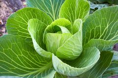 Organic big fresh cabbage. Fresh Green Head. royalty free stock photo