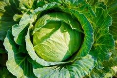 Big cabbage in the garden,fresh kitchen garden cabbage.  Royalty Free Stock Photos