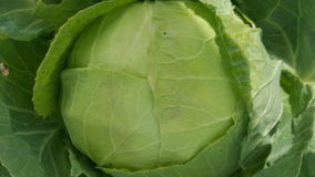 Big cabbage in the garden. Cabbage in the garden. Nature Royalty Free Stock Photo