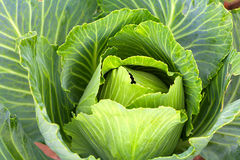 Big cabbage in the garden. Soft focus of Big cabbage in the garden Stock Photography