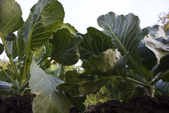 Big cabbage Royalty Free Stock Photo