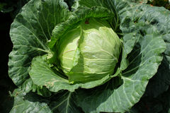 Big cabbage Stock Image