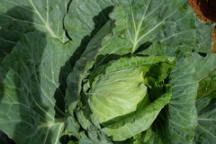 Big cabbage Stock Images