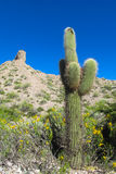 Big cactus in Argentina Royalty Free Stock Photo