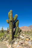 Big cactus in Argentina Royalty Free Stock Photography