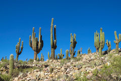 Big cactus in Argentina mountains Royalty Free Stock Photography