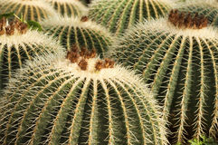 Big cactus in bloom. Some big yellow cactus are blooming with brown flower Stock Image