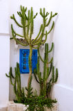 Big cactus in front of a blue window Stock Image