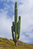 Big cactus in front of the sky Royalty Free Stock Images