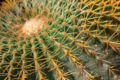 Big Cactus full of spines Royalty Free Stock Image