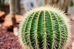 A big cactus head Royalty Free Stock Photo
