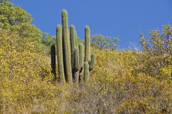Big Cactus on a Hill. A big cactus against the blue sky Royalty Free Stock Image