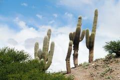 Big cactus Royalty Free Stock Photos