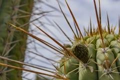 Big cactus needles royalty free stock photos