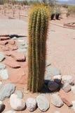 Big cactus outdoors Stock Images
