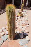Big cactus outdoors Royalty Free Stock Image