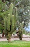 Big cactus in South America, Cacti, los Cardones stock images