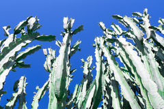 A big cactus tree in the sky Royalty Free Stock Images