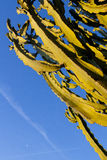 A big cactus tree in the sky Royalty Free Stock Photography