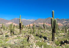 Big cactus valley in South America Royalty Free Stock Photos