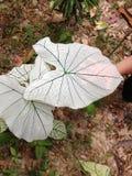 Caladium Allure leaf Royalty Free Stock Photos