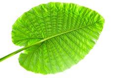 Big Caladium leaf isolated on white background. With light Stock Photos