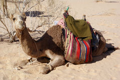 Big camel Stock Photo