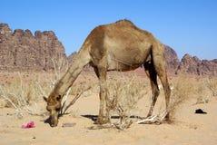 Big camel Stock Image